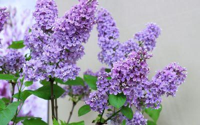 Lilacs and Ladybugs